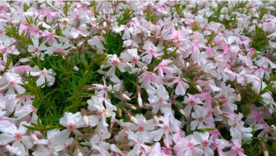 Kukkia istutuksessa