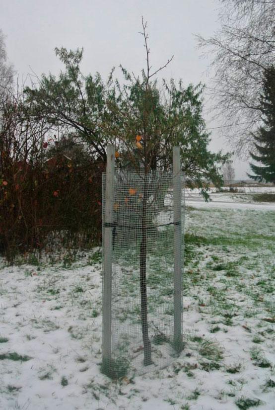 Puun talvisuojaus